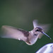 Hummingbird_Window-2024