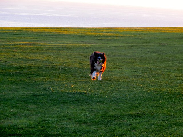 flying border collie