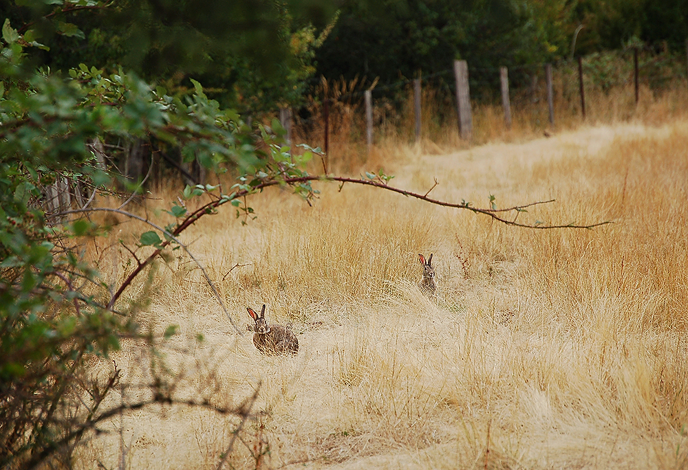 _rabbits_New-Norfolk_Tasmania_1_