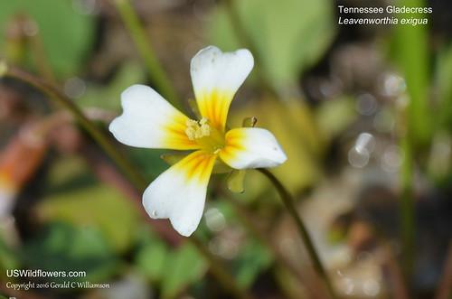 Tennessee Gladecress - Leavenworthia exigua