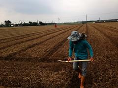 直播後,農民隨著做畦。攝影:廖靜蕙