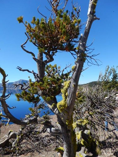Whitebark pine at Crater Lake National Park