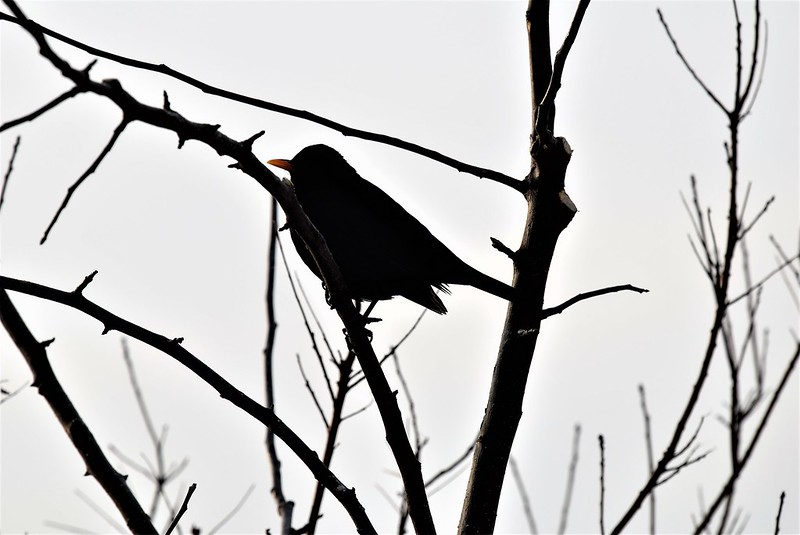 Blackbird 28.01 (2)