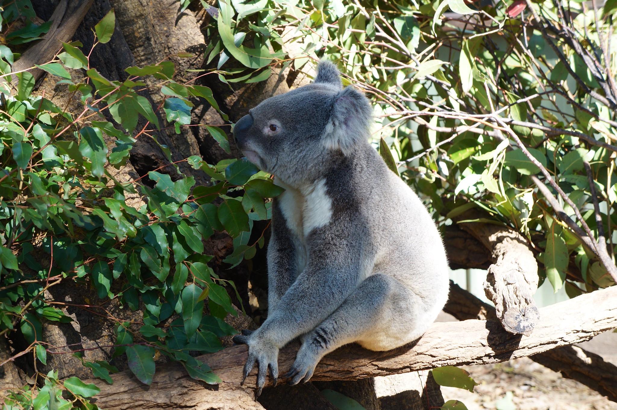 Le sanctuaire des koalas