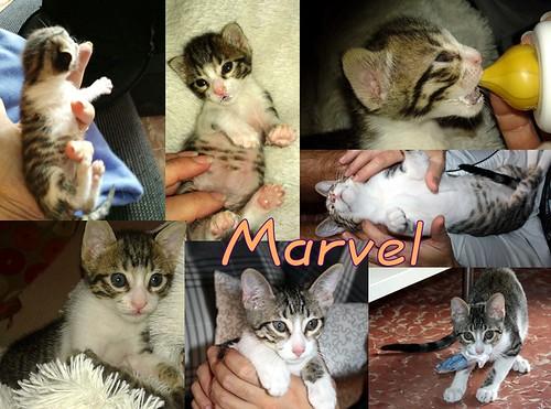 FALLECIDO- Marvel, gatito blanquipardo bebé en Adopción Especial, nacido en Junio´15, en adopción. Valencia. 22386752969_7786059b71