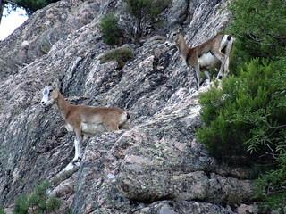 Mouflonnes au-dessus du sentier de Manzaghja