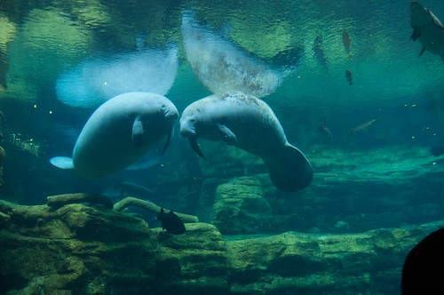 Image of Camera Raw file of Manatees at SeaWorld Orlando