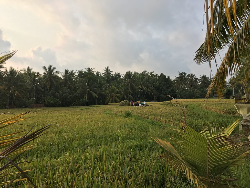 Rice paddy fields in Ubud