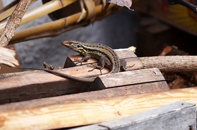 Lizard in woodpile