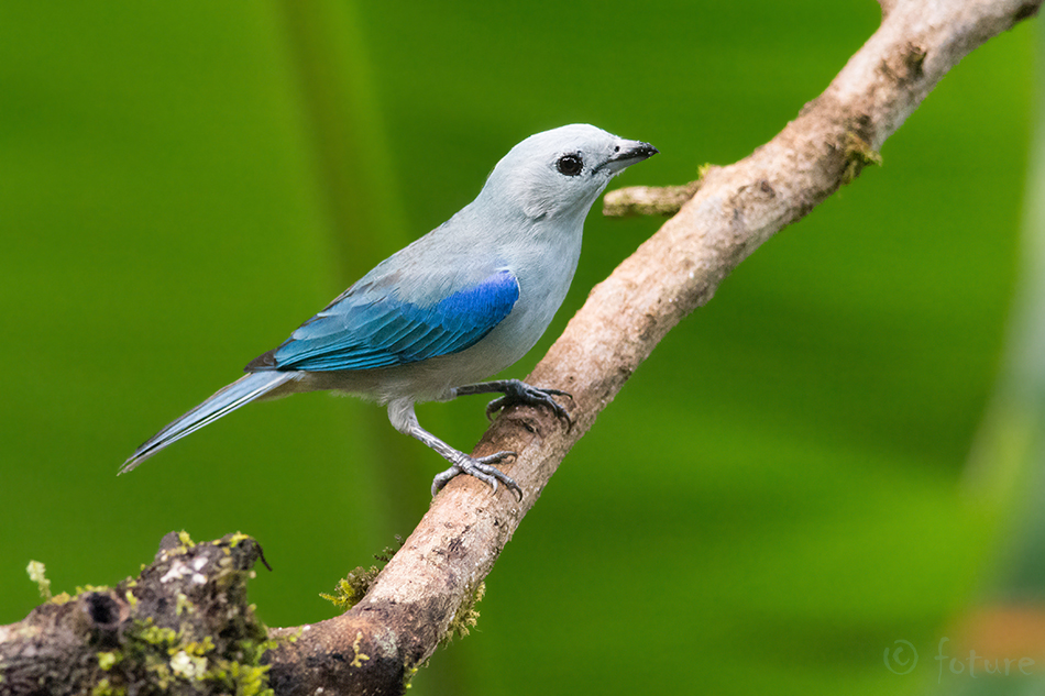 Sinihall, Tangara, Thraupis, episcopus, Blue, grey, Tanager, gray, Sarapiqui, valley, Costa Rica, Kaido Rummel