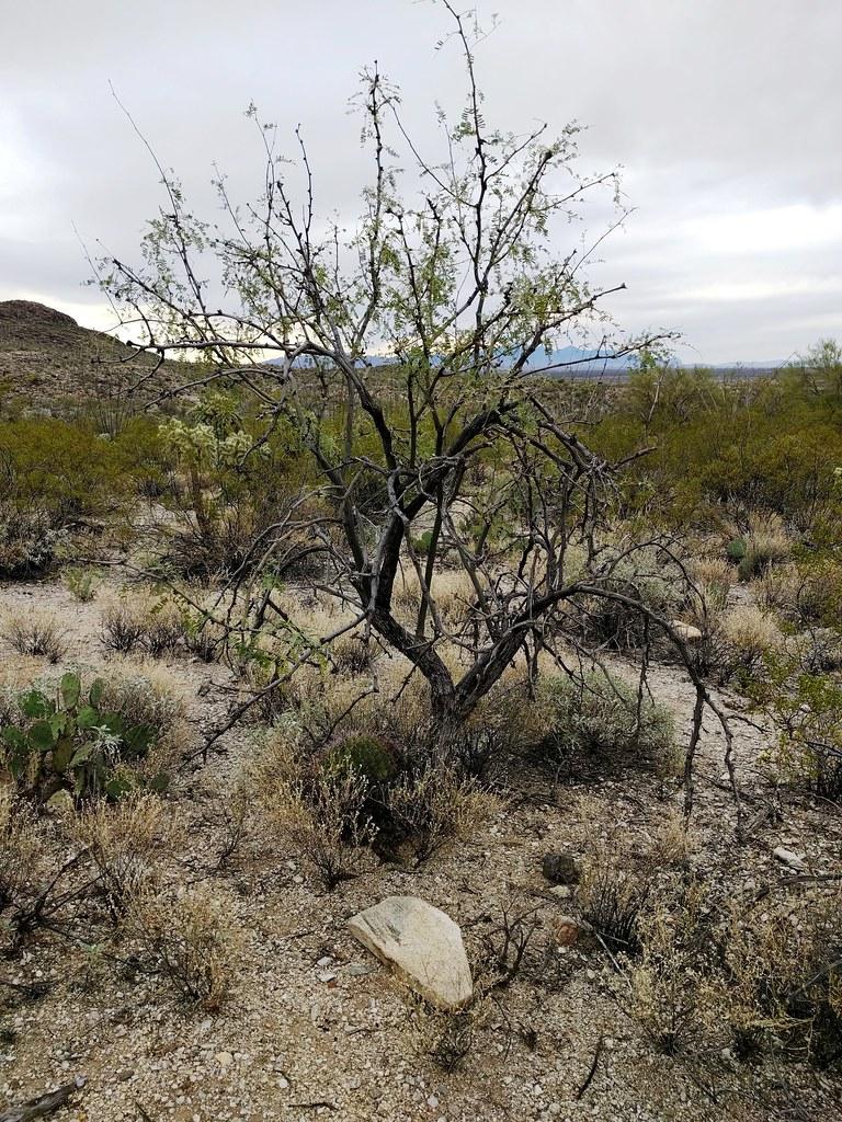 Mesquite tree   Mesquite tree genus Prosopis Elevation 950 ...