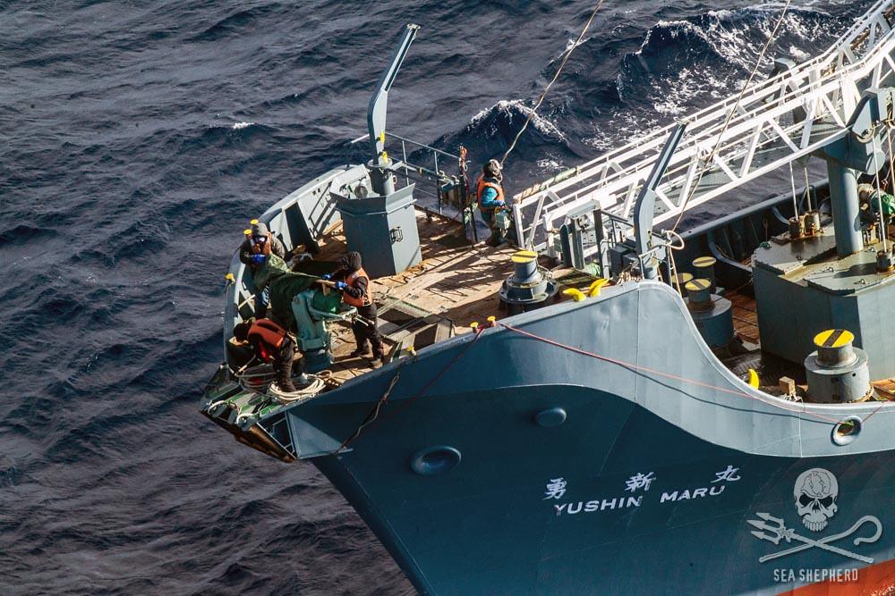 日本捕鯨。圖片來源:Sea Shepherd
