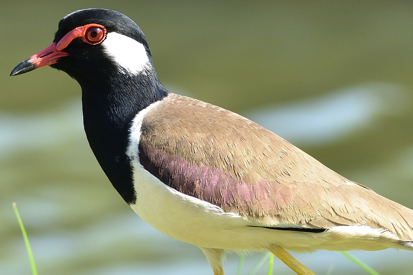 Red-wattled_Lapwing_8836_O