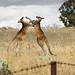 Boxing kangaroos 3