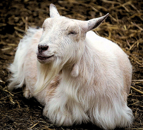 Happy goat! | by piddy77