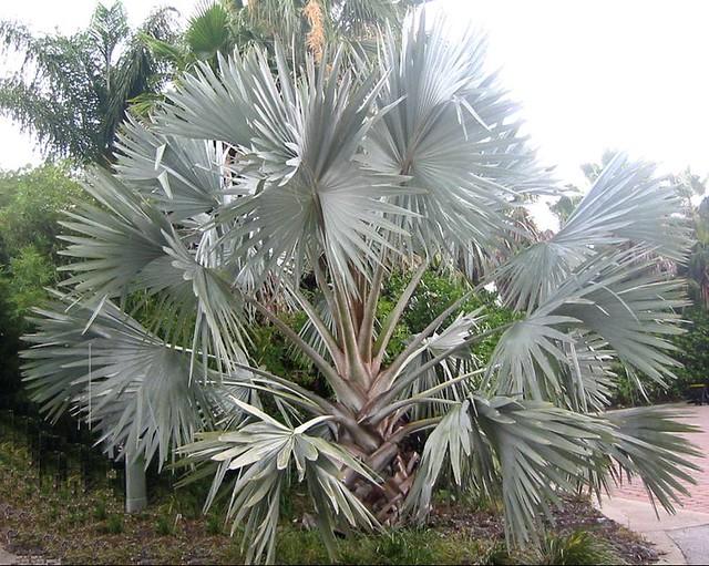 trees palm blue - photo #16
