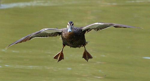 Duck Landing | Pacific...
