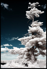 Island Tree IR | by phraction
