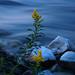 River Flower in low light DSC_6532