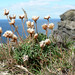 Thrift at the Cliff