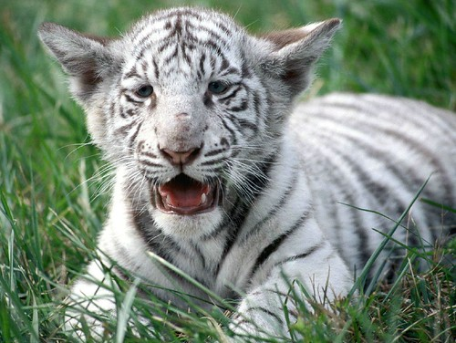 baby white tiger | by KungFuStu