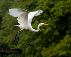 Great Egret Lift-Off, on Longview Lake | by 0 W8ing