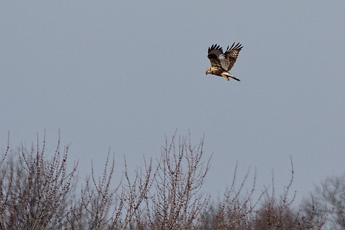 Pole Farm, N.J.: Rough-legged Hawk