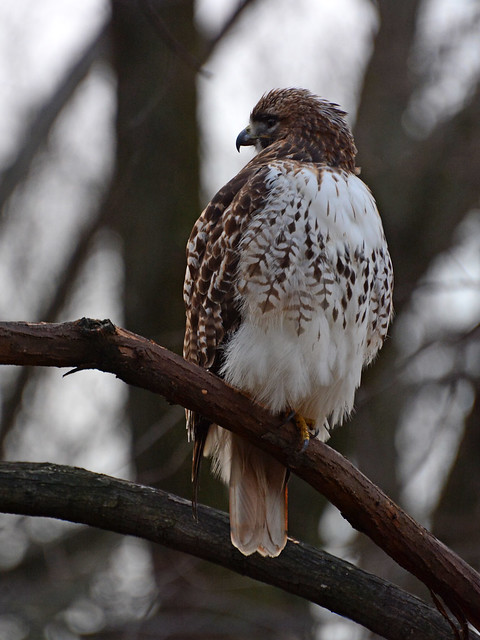 Riverside Red-Tail - 1026