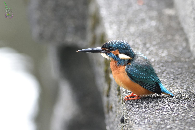 Common_Kingfisher_8200