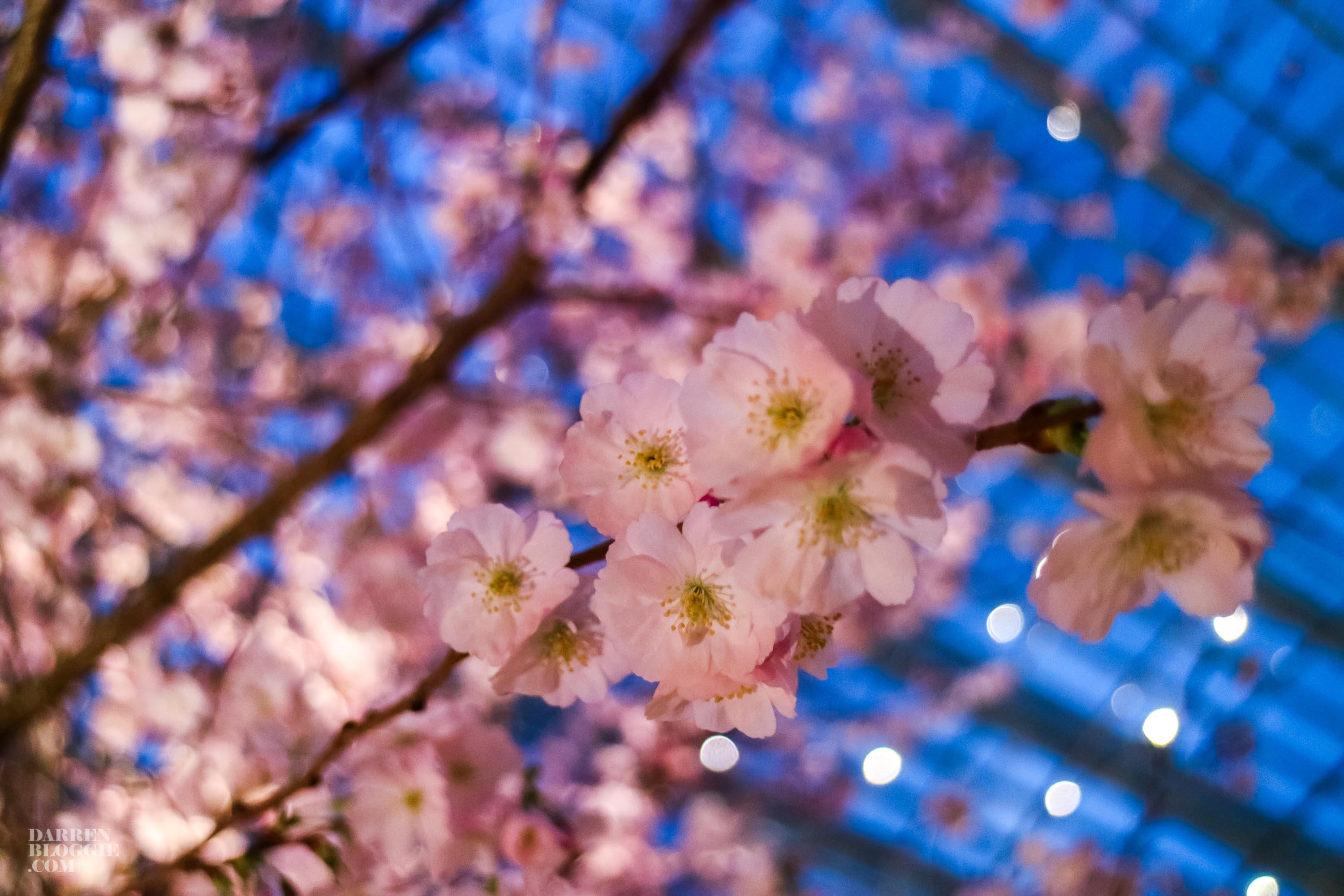 blossom-bliss-cherry-blossom-at-gardens-by-the-bay-darrenbloggie-8