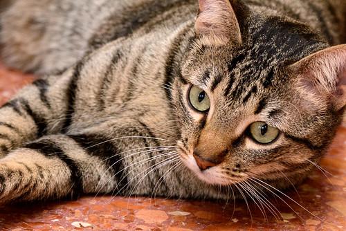 Tigris, gatita atigrada parda de ojazos verdes y cara redondita, tímida y sumisa esterilizada, nacida en Septiembre´15, en adopción. Valencia. ADOPTADA. 32607053341_97bd7e9396