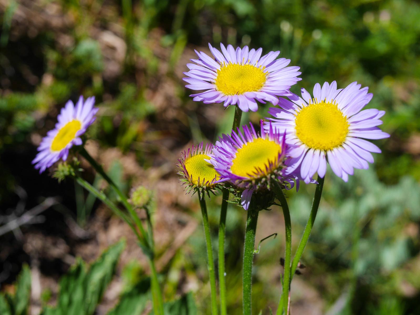 Sierra daisy