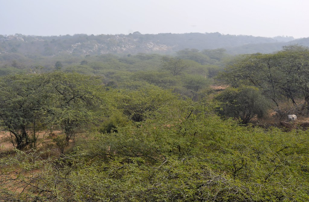 Vilayati keekar (Prosopis juliflora) dominates the vegetation cover.