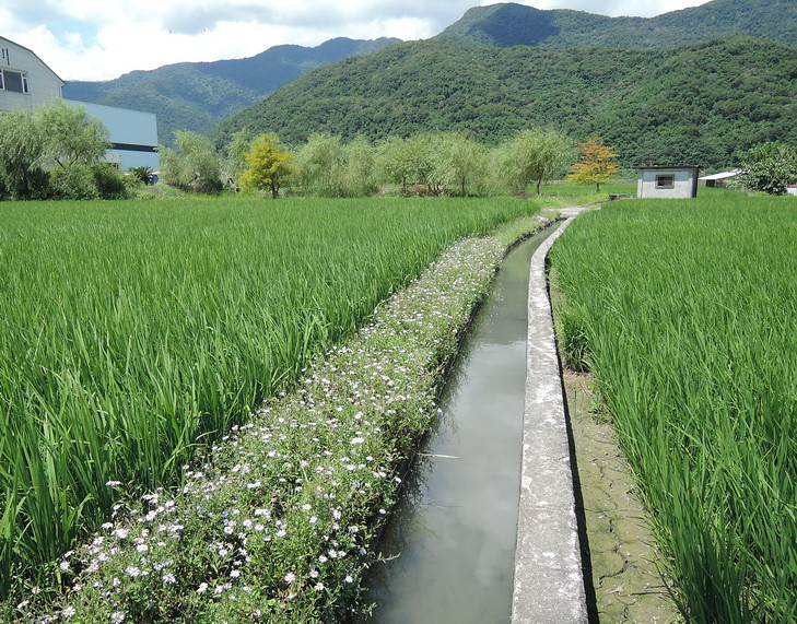 台灣原生野花植生毯應用於田埂植被復育,有助於重建有益昆蟲棲所。圖片來源:花蓮農改場