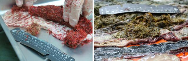 左:綠蠵龜食道裡紅色海草中找到成團漁網。右:腸道裡也發現成團漁網。中興大學公關組提供