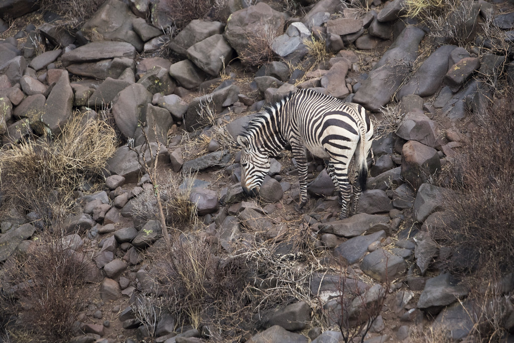 Mountain Zebra @ Grootberg Lodge
