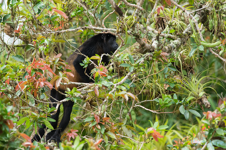 Mantel, möiraahv, Alouatta, palliata, Golden, mantled, howler, Golden-mantled, howling, monkey, Caño, Negro, Wildlife, Refuge, Costa Rica, Kaido Rummel