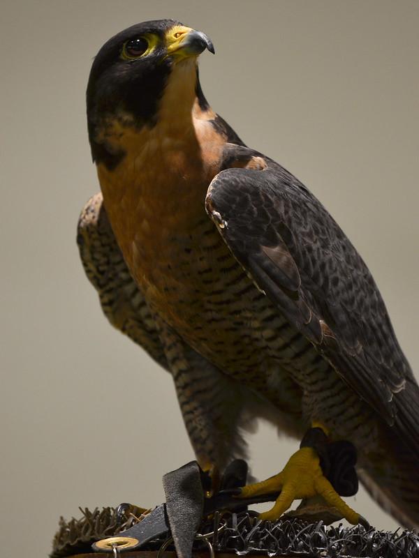 OWL - Peregrine Male