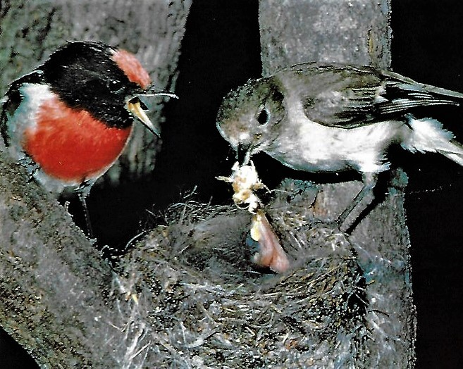 Red-capped Robins at nest2