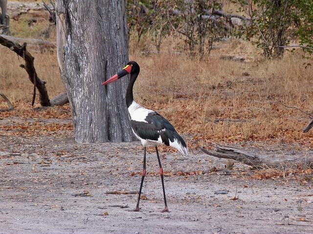 Jabirú africano