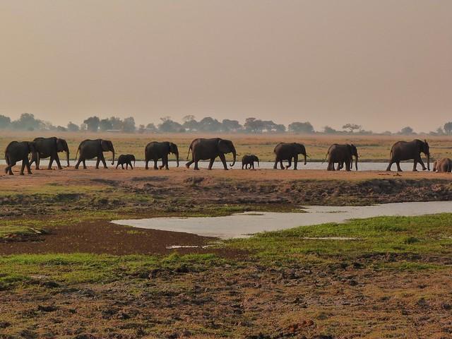 Fila de elefantes a orillas del río Chobe (Botswana)