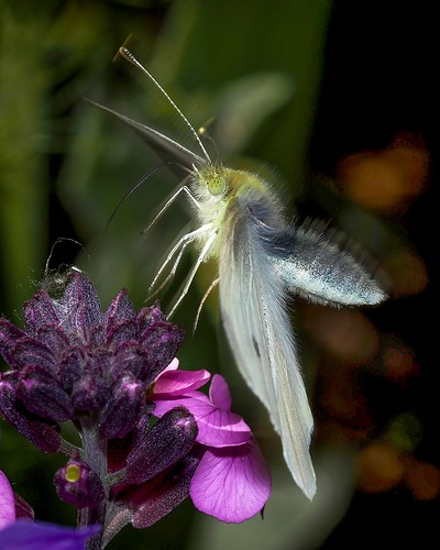 large white taking off from bowles mauve-Edit-Edit | by Brian Wadie Photographer