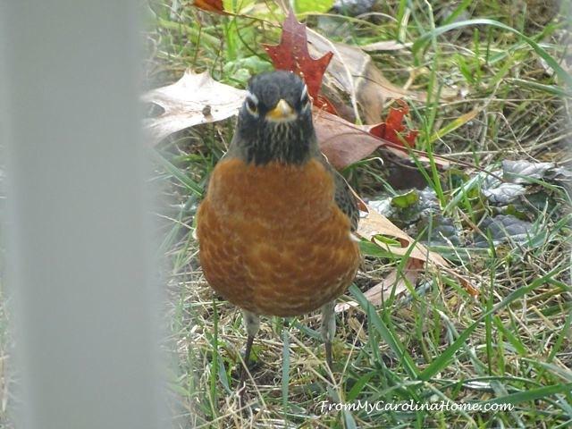 December Robins 4
