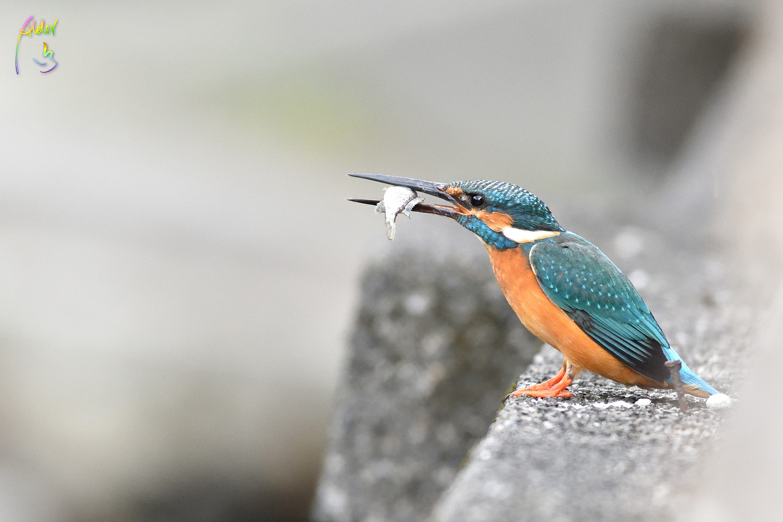 Common_Kingfisher_0892