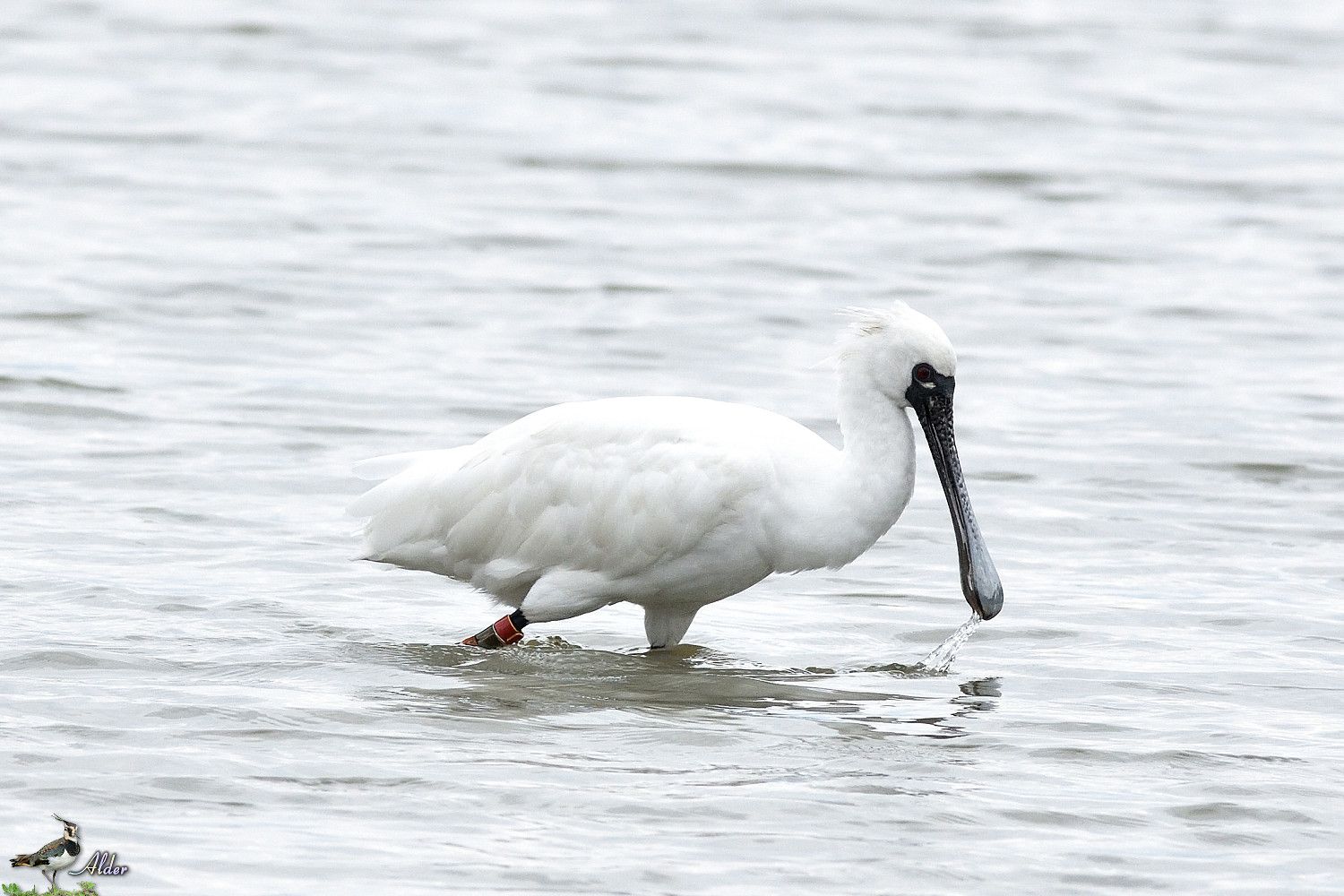 Black-faced_Spoonbill_5258