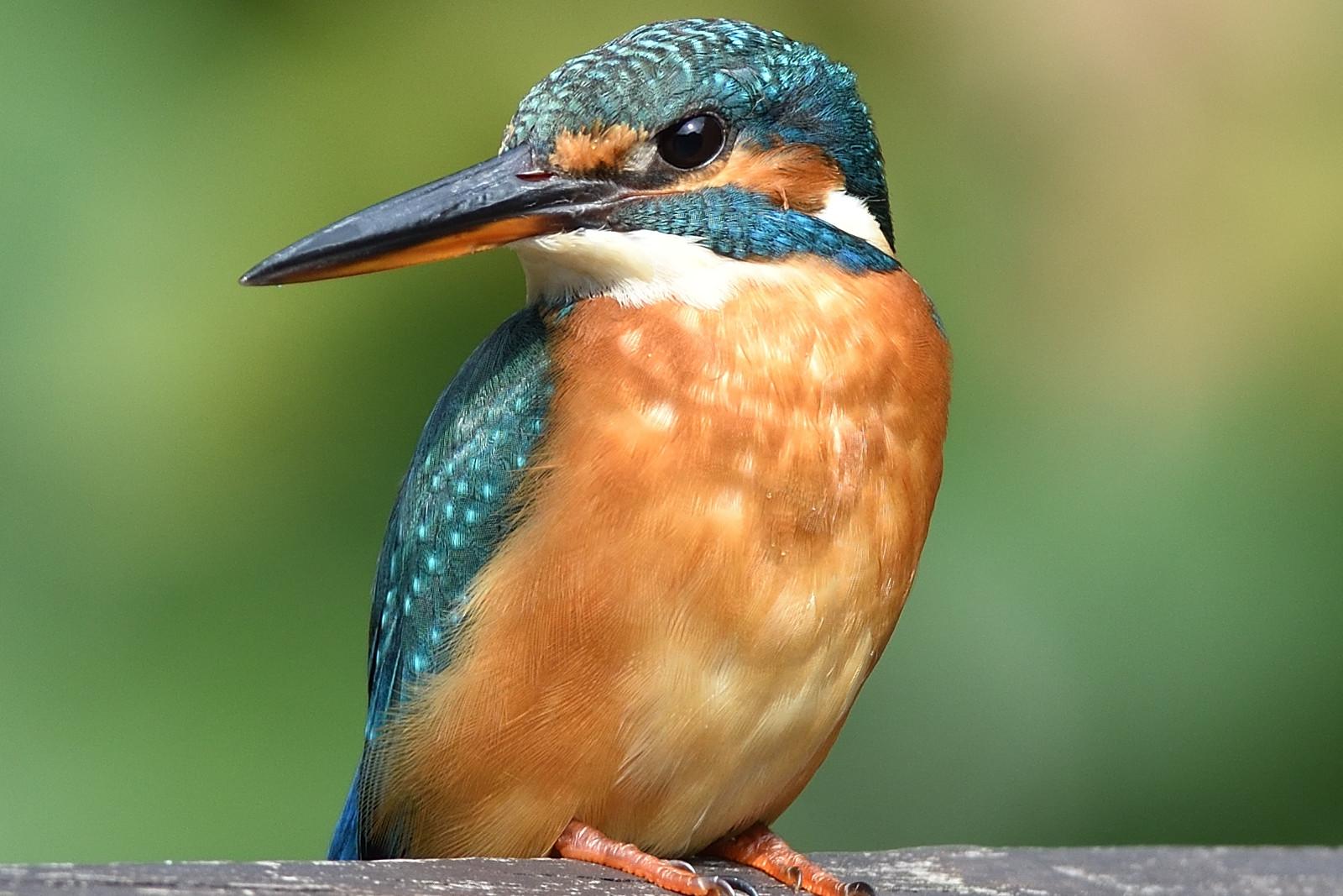 Common_Kingfisher_3960