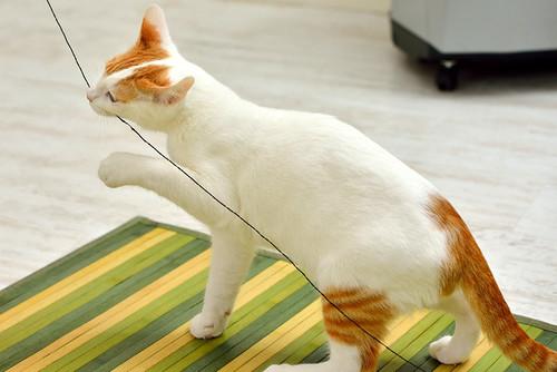 Gary, gatito blanco y naranja cruce Van Turco esterilizado muy activo nacido en Julio´16, en adopción. Valencia. ADOPTADO. 31705905875_061c7cf4db