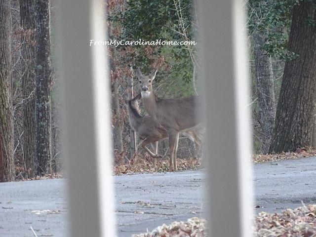 Deer visit 3