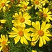 giant coreopsis annual bloom