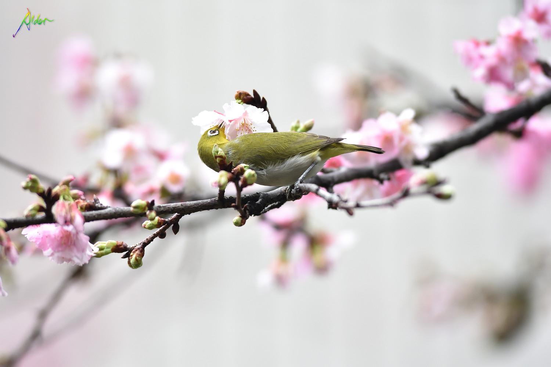 Sakura_White-eye_8591